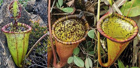 La Nepenthes-attenboroughii